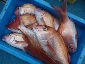 Photo: オオツさんの釣果! 真鯛10匹でした! 正月魚、バッチリゲットできました!