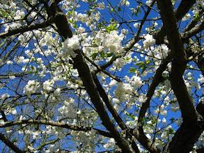 Photo: Cerisiers en fleurs dans le parc floral du Keukenhof.