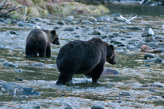 Photo: Mother grizzly and her cub search the pools for salmon