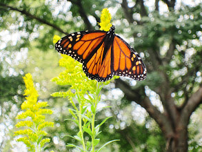 Photo: Monarch butterfly perched on Golden Rod at Eastwood Park in Dayton, Ohio.