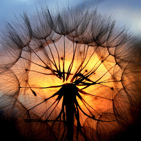 by Svetlana Micic - Nature Up Close Other plants ( light, sunset, nature up close, sun, dandelion )