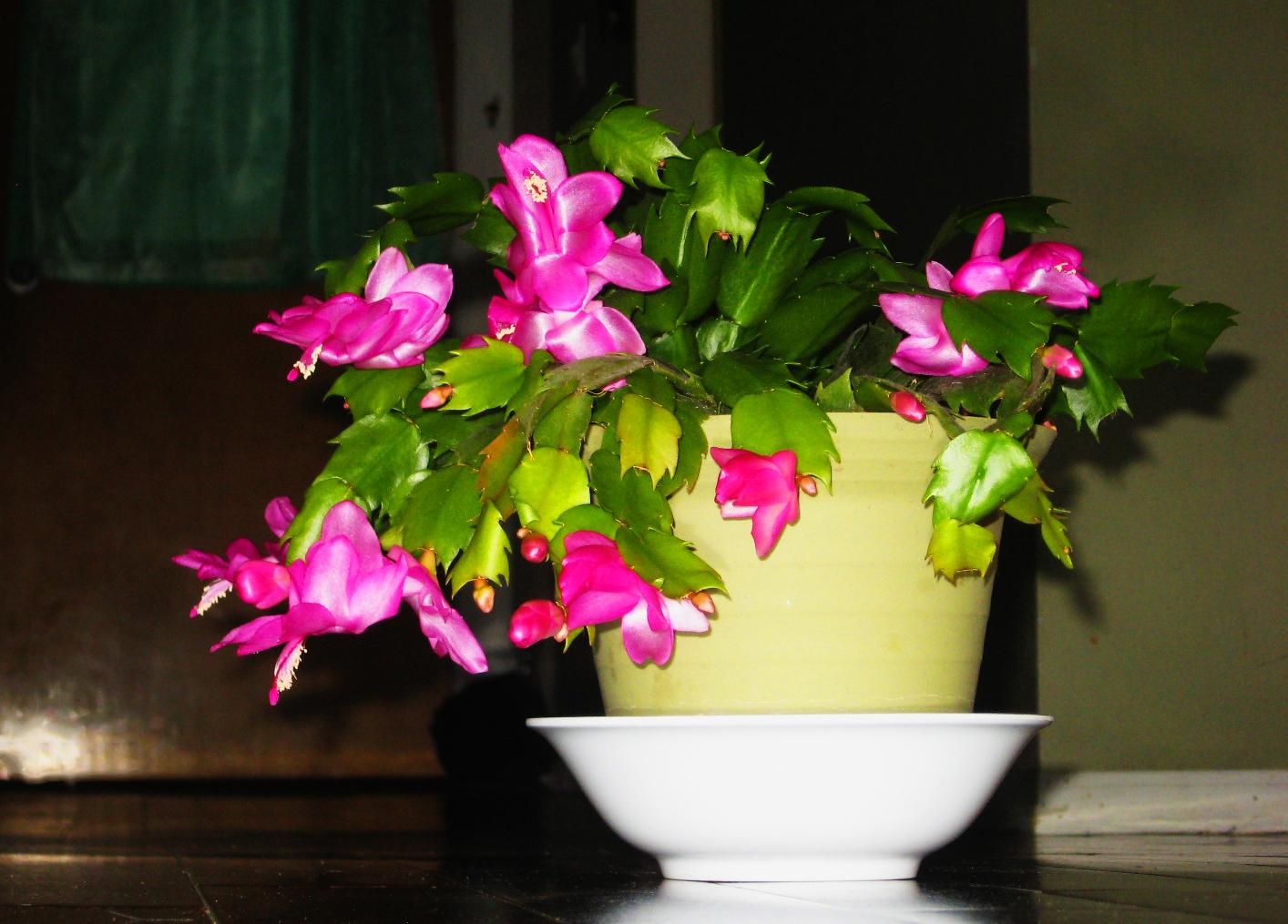 Xmas Cactus.jpg