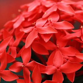*red* by Han™ Hol®© - Flowers Flower Gardens ( tiikantrim, busati, khehenanahahahathohoholakakakk, kahahanathohoholakkk, butalak,  )