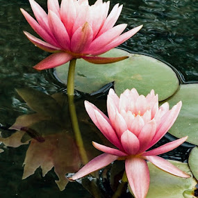 Pink water lilies  by Nelida Dot - Flowers Flowers in the Wild ( pink, waterscape, reflections, lillies, flower,  )