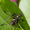 32-Spotted Katydid (nymph)