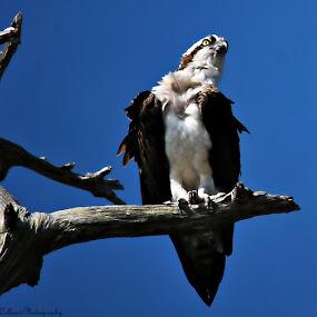 Florida Osprey by Colleen Rohrbaugh - Animals Birds ( large birds, wildlife, birds nature,  )