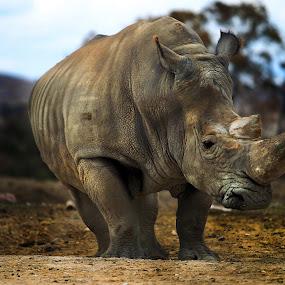 Rhino by Cristobal Garciaferro Rubio - Animals Other Mammals ( male, handsome, big animal, big, rhino )