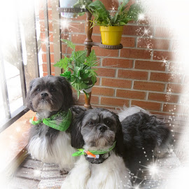 My little ''Lucky Charms''. by Carolyn Kernan - Animals - Dogs Portraits (  )