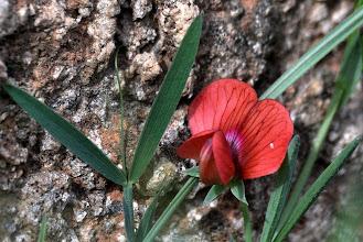 Photo: Lathyrus cicera L. (Fabaceae), Red Vetchling