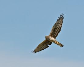 Photo: Northern harrier