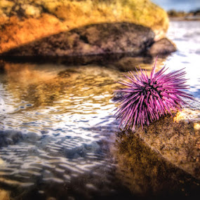 Purple Sea Urchin by Errol Rebello Photography - Animals Sea Creatures ( urchin, water, poky, purple, spiny, mauritius, pixoto, sea urchin, beach, rocks, photography )