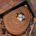 Black Shield Wasp