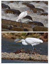 Photo: 撮影者:村山和夫 ダイサギ タイトル:ダイサギ現る 観察年月日:2014年10月14日 羽数:1羽 場所:淺川/淺川橋下流200M左岸 区分:行動 メッシュ:八王子6K コメント:台風一過、水量の増えた淺川で魚を狙う。しばらくして飛び立ち岸辺に降り、強い風を避けるように体を沈めて風上に頭を向け休んでいました。