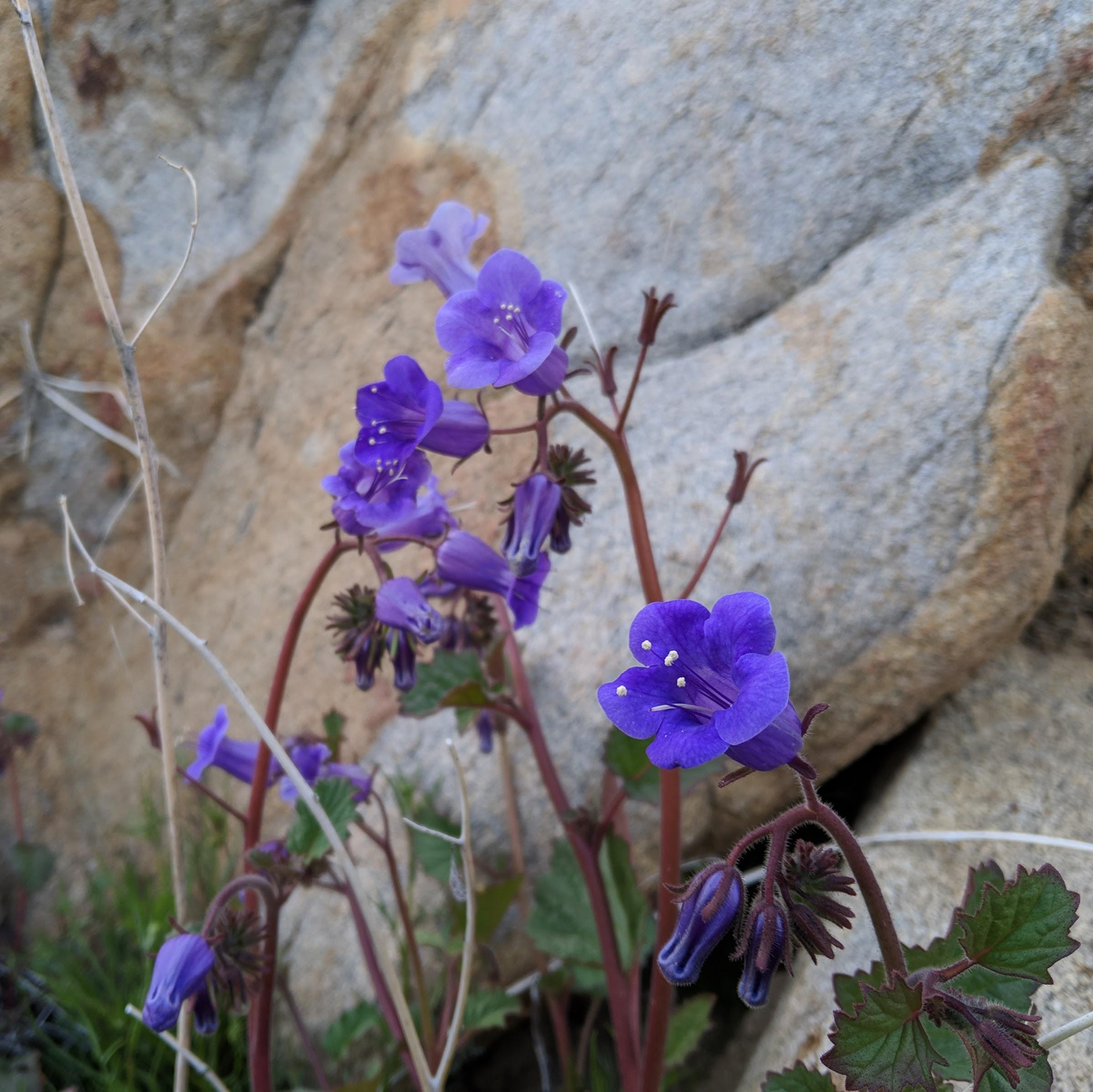 Fleurs mauves qu'on voit un peu partout • Purple flowers that we see a bit everywhere