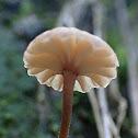 Marasmiellus