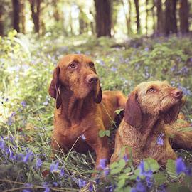 Vizsla by Magdalena Sikora - Animals - Dogs Portraits ( hungarian vizsla, dog couple, flowers )