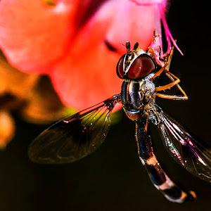 hvr fly on slmn slvia macro y.jpg