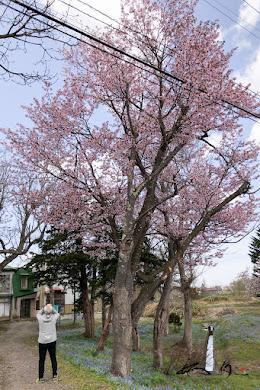 神宿る桜の樹木