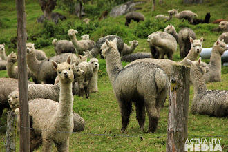 Photo: Back to the Alpacas in the mountains.