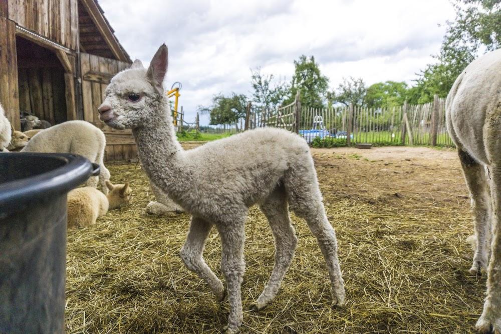 Die Wolle von Babyalpakas wird auch im Hofladen verkauft