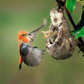 for Breakfast by Indrawaty Arifin - Animals Birds ( scarlet, nest, feeding, birds,  )