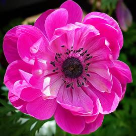 Anemone by Millieanne T - Flowers Single Flower