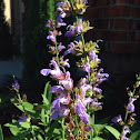 Conmen lavender