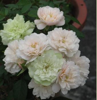 Có đôi lúc hồng ngoại Green ice nở hoa màu phớt hồng, hoặc xanh lá, có lúc trắng tinh