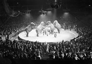 Photo: Elephants play 'Oranges and Lemons' at the Bertram Mills Circus, Olympia.