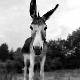 My favorite Donkey  by Cale Newman - Black & White Animals ( animals, nature, black and white, donkey )