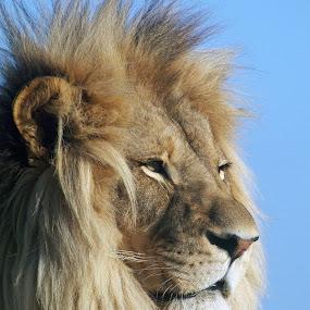 Surveying his domain by Gavin Falck - Animals Lions, Tigers & Big Cats ( big cat, lion, animals, nature, wildlife, mammal )