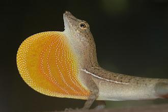 Photo: 9 Norops polylepis, Esquinas Rainforest (08°42´/-83°12´), 02.07.2008, Author & det. Erwin Holzer