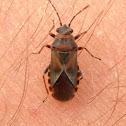 Elm Seed Bug