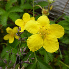 Eged's Silverweed