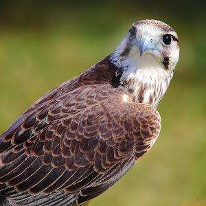 Falcon disturbed.jpg