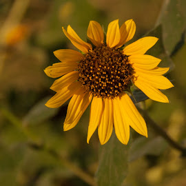 You are my Sunshine by Jennifer  Loper  - Flowers Flowers in the Wild ( country, wildflower, sunshine, yellow, petals, sunflower )