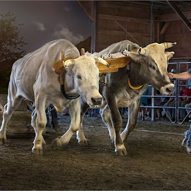 pure bull power by Dries Fourie - Sports & Fitness Other Sports