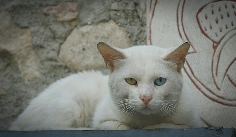 Sguardo felino di danilo56