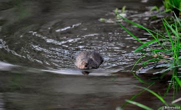 Photo: La rata de agua es como un topillo gordo que nada directa hacia donde me encuentro. Sus pequeños ojos brillan en la mañana. Es una de las pocas ratas de agua que quedan en nuestros ríos.