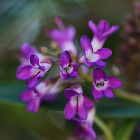 Campanitas by Daniel Sapag - Flowers Flower Gardens