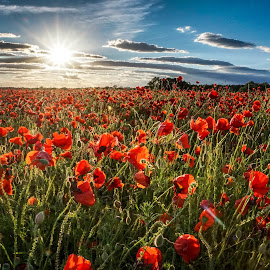 Poppytastic by Sue Lascelles - Flowers Flowers in the Wild (  )