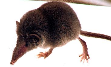 """Photo: Bei der Geburt wog das kleinste Säugetier Europas 0,25 Gramm und musste 3 Wochen von seiner Mutter gesäugt werden. Trotz der äußeren Ähnlichkeiten mit den Mäusen gehören sie nicht zu den Nagetieren, sondern zur Ordnung der Insektenfresser (Eulipotyphla). Von einigen Gattungen ist bekannt, dass sie in der Unterkieferspeicheldrüse das Gift BLTX produzieren, das ihnen erlaubt, relativ große Beutetiere wie Frösche und Wühlmäuse zu überwältigen. Die Bezeichnung Spitz""""maus"""" darf nicht darüber hinwegtäuschen, dass diese Tiere mit den Mäusen nicht näher verwandt sind. Eine beschlossene Umbenennung durch die Deutsche Gesellschaft für Säugetierkunde (DGS) auf ihrer Hauptversammlung 1942 in die zoologisch sinnvollere, ältere Bezeichnung Spitzer ließ Adolf Hitler nach seiner Kenntnisnahme durch die Berliner Morgenpost vom 3. März 1942 unter Androhung von längeren Aufenthalten """"in Baubataillonen an der russischen Front"""" unverzüglich rückgängig machen. WIKIPEDIA"""