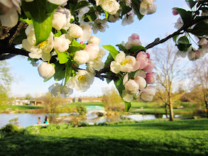 Photo: White and light pink apple blossoms in front of a lake with a bridge at Cox Arboretum and Gardens Metropark in Dayton, Ohio.