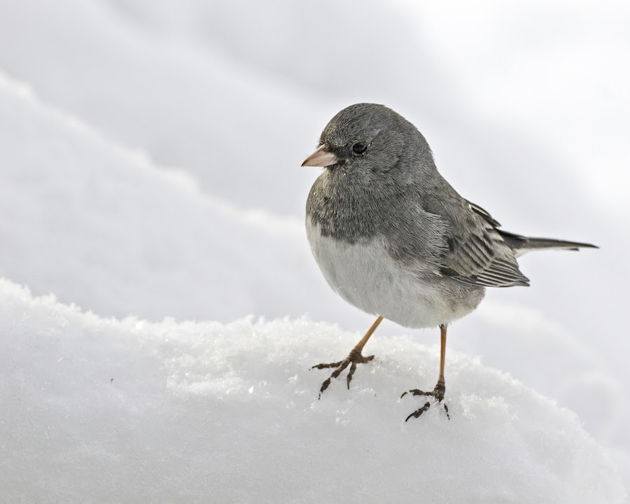Trekking in the Snow by Kathy Jean - Uncategorized All Uncategorized ( junco, snow, bird, junco on the snow, animal,  )