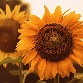 In the Shadows by Stephanie Munguia-Wharry - Novices Only Flowers & Plants ( nature, sunflower, flower )