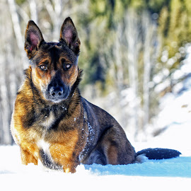 Mesa - Winter Portrait - 4553 by Twin Wranglers Baker - Animals - Dogs Portraits (  )