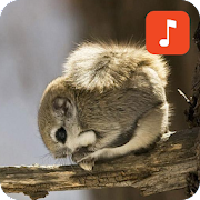 Flying squirrel sounds‏