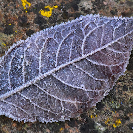 Fallen & Frozen ! by Marco Bertamé - Nature Up Close Leaves & Grasses ( red, winter, cold, pattern, venes, ice, fall, leaf, frozend, close-up, hoarfrost,  )