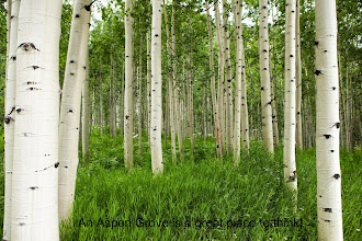 Photo: Forest of tall white aspen trees in Aspen, Colorado