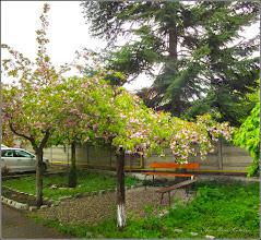 Photo: Cires japonez (Prunus Surrulata)  din Turda - Piata Republicii, Nr.26 - 2019.04.17